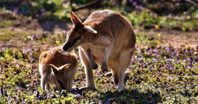 klokani Austrálie